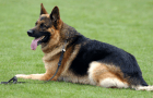 German Shepherd: The One Dog that rules them all